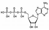 アデノシン三リン酸 (ATP)