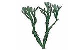 ヒバマタ (海藻) 抽出物